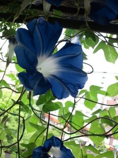 朝顔の花.JPG