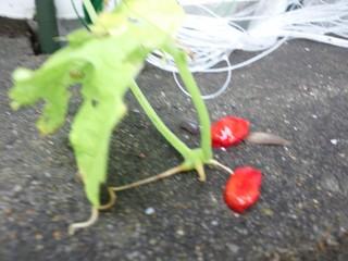 赤い種.JPG