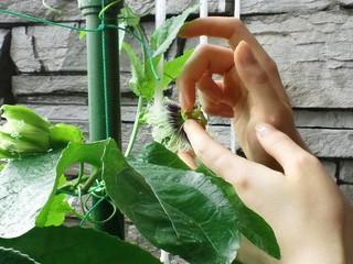 3つの雌しべに花粉をつける.JPG